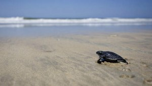 Geboorte Lederschildpad Aruba